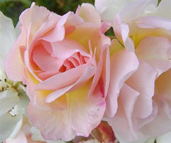 In summer we waited upon the rose's unfurling petals | by Athena's Pix