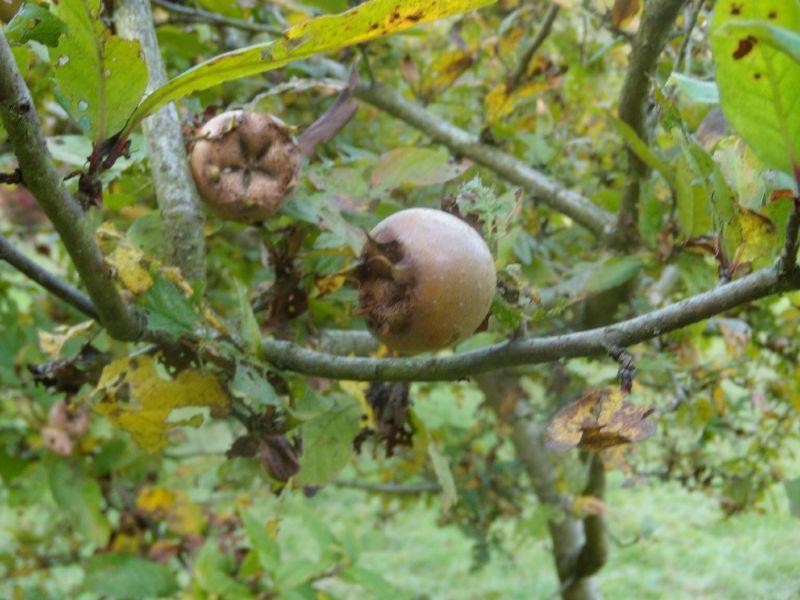 Medlar en.wikipedia.org/wiki/Mespilus en.wikipedia.org/wiki/Mespilus Winkworth Arboretum. Milford to Godalming