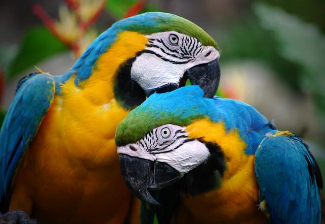 Colorful Parrots Couple