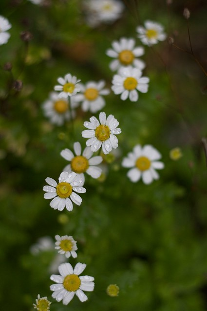 Late daisies