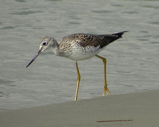 Tigüitigüe grande [Greater Yellowlegs] (Tringa melanoleuca) | by barloventomagico