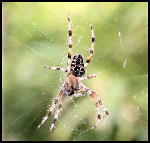 Spider at lunch - Araneus diadematus | by gemineo