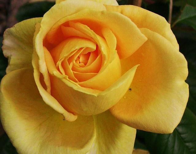 Candlenight-Rose, gelb   - 1/257