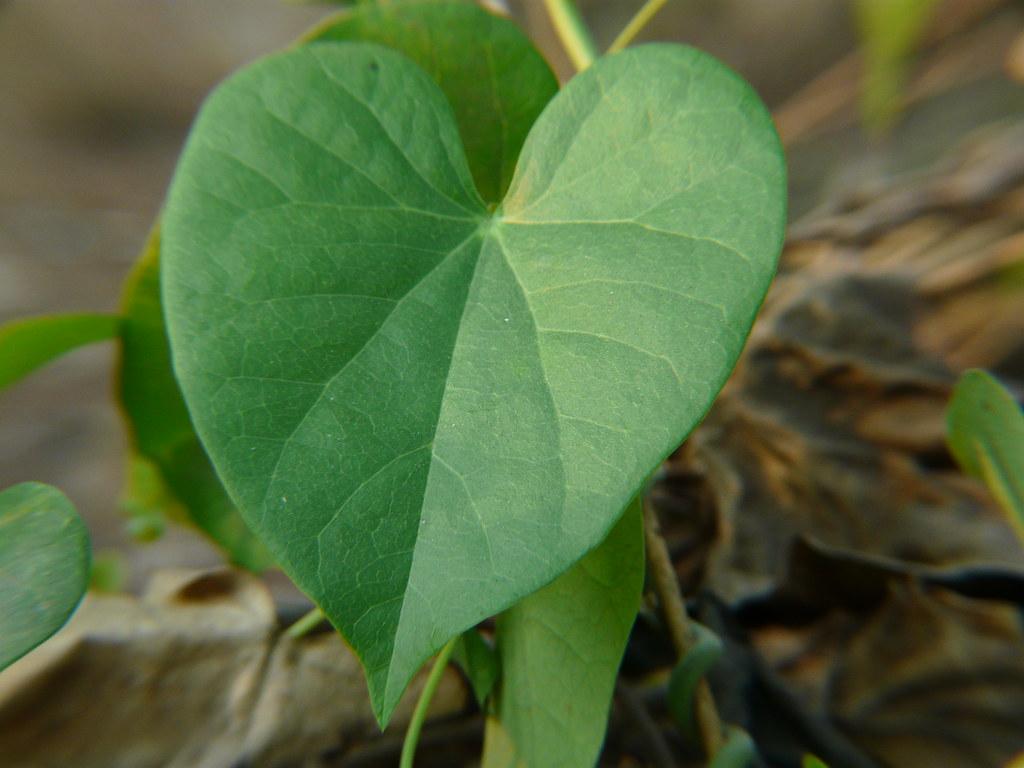 Tippatige (Telugu: తిప్పతీగె) | Menispermaceae (moonseed ...