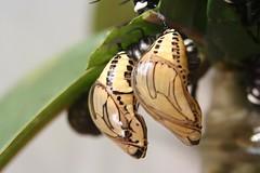 Vlinderhuis Misahuallí (Ecuador); cocons van vlinders | by Geert en Sara