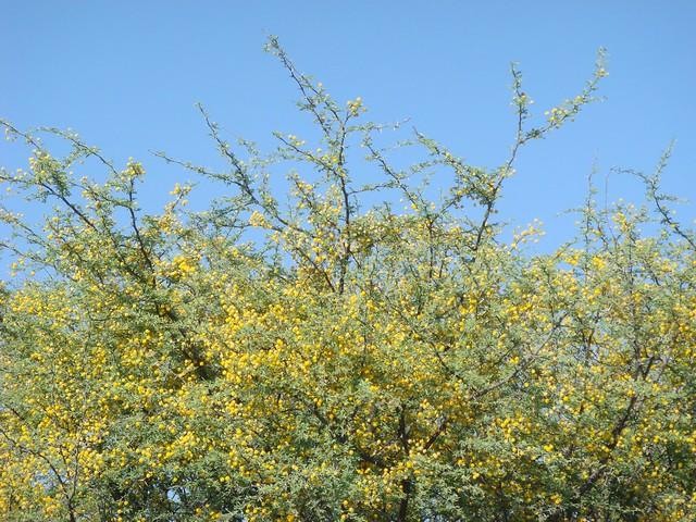 Fiore d'acacia profumatissimo