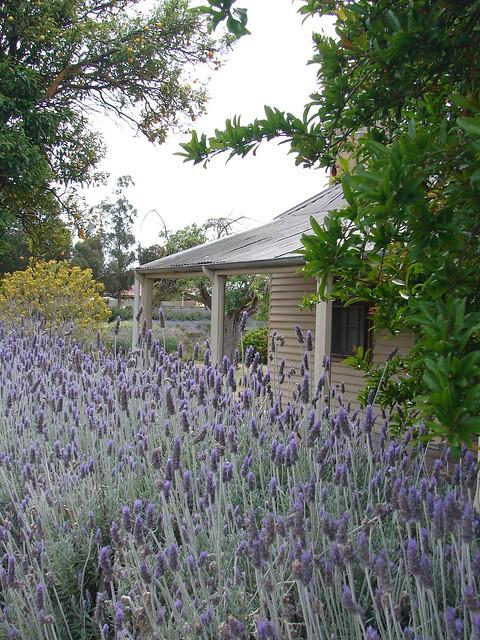Lovely lavender cottage, South Australia