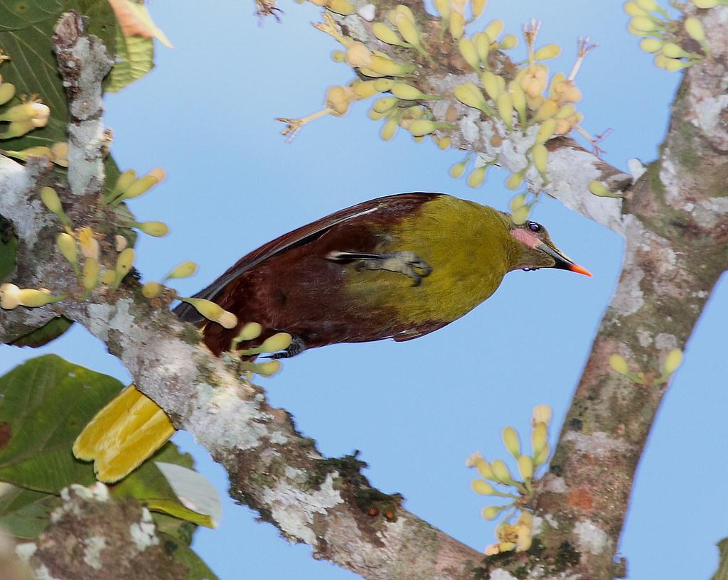 IMG_7703 Amazonian(Olive)oropendola