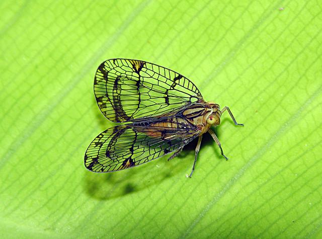 Netwing hopper (Biolleyana sp, Nogodinidae), Bocas del Toro, Panama