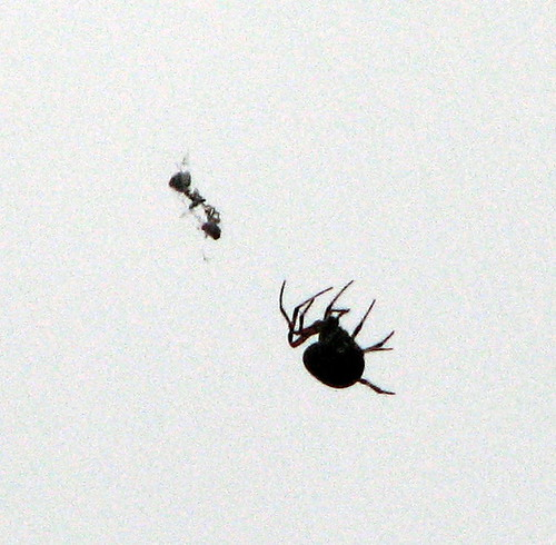 Spider and Ant Pettigrew SP 8259