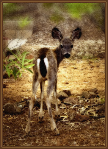 california nature deer fawn norcal oroville buttecounty naturesfinest elitephotography