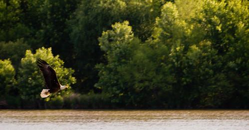 inflight nikon baldeagle transfer susquehannariver nikond200 70300mmf4556gvr 70300vr afs70300vr