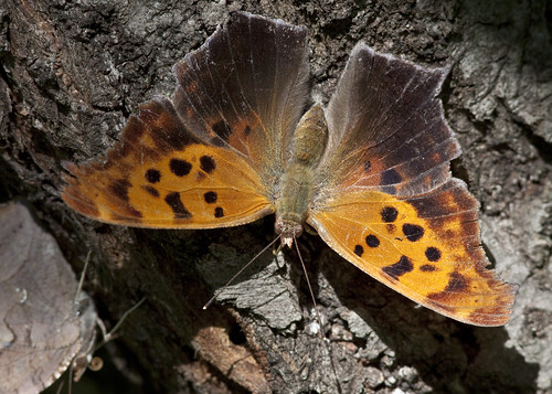 kh0831 thegreatswamp butterfly insect 2011 greatswamp swamp wildernessarea nj thousandplus lepidoptera