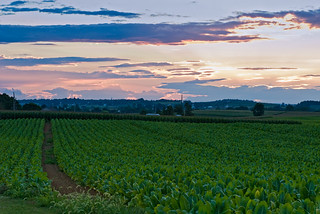tobacco sunset over amish country | by Anthony Citrano