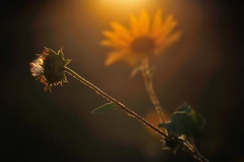 sunset bokeh sunflower shame inmyyard nikond3 nikon85mmf14ais