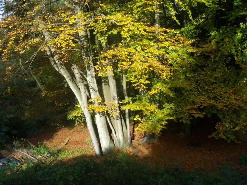 Sunlit tree Milford to Godalming