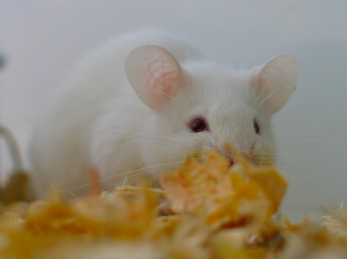 Albino Mouse | by Steven Beger Photography (Beger.com Productions)