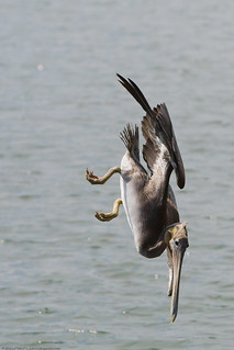 Brown Pelican Diving 3/3 (used in NYPL article on the Gulf Oil Spill Disaster) | by mikebaird