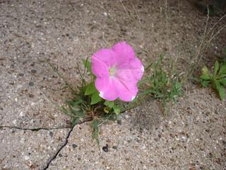 Flower in a sidewalk crack | by Fuzzy Gerdes