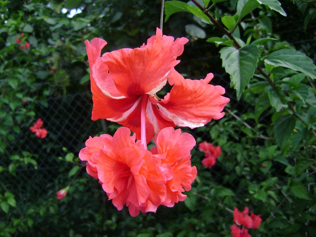 Bunga Raya Bunga Kebangsaan Bngishak Off Flickr