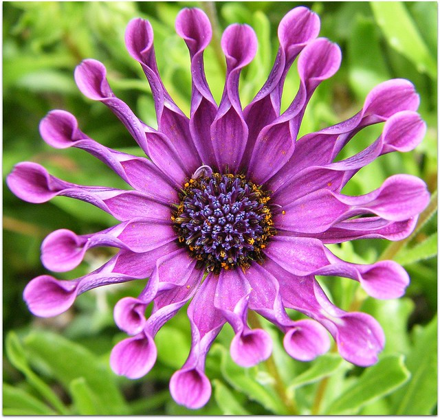 Purple osteospermum whirligig (Spoon Daisy)
