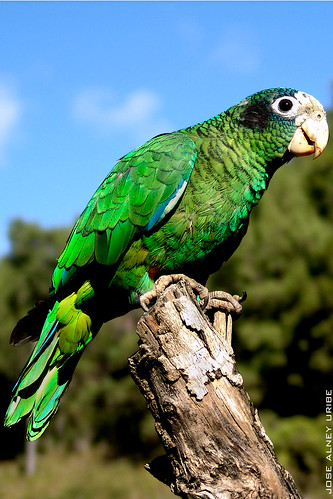 Cuca La Cotorra - Cuca The Parrot | by Jose Alney Uribe