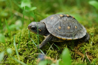 Baby Turtle 023 | by cygnus921