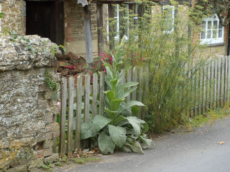 Impressive mullein Milford to Godalming