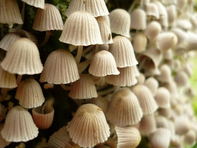 [Explore] Colonia de Coprinellus disseminatus