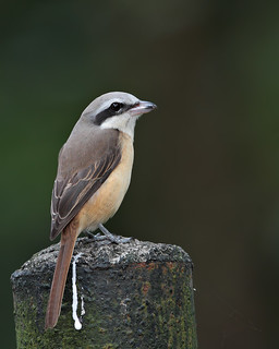 Brown Shrike (Lanius cristatus) | by neon2rosell