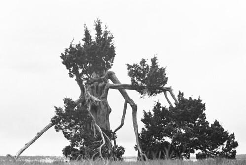 cedartree2
