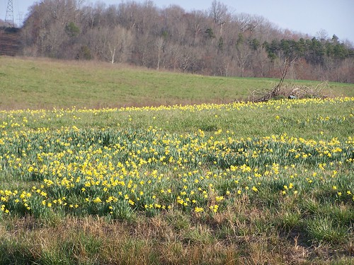 county field nc daffodil stanly richfield stanlycounty ncpedia