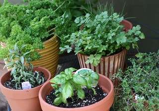 potted herbs | by Patty Mitchell