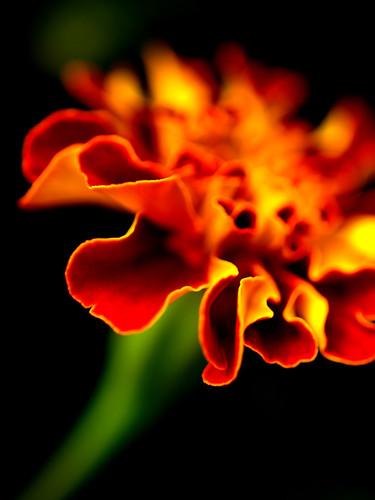 minnesota rochester flame marigold mb onfire bicolor hbw gemsofnature qualitypixels zuikooly50mmf2 explorehighest113
