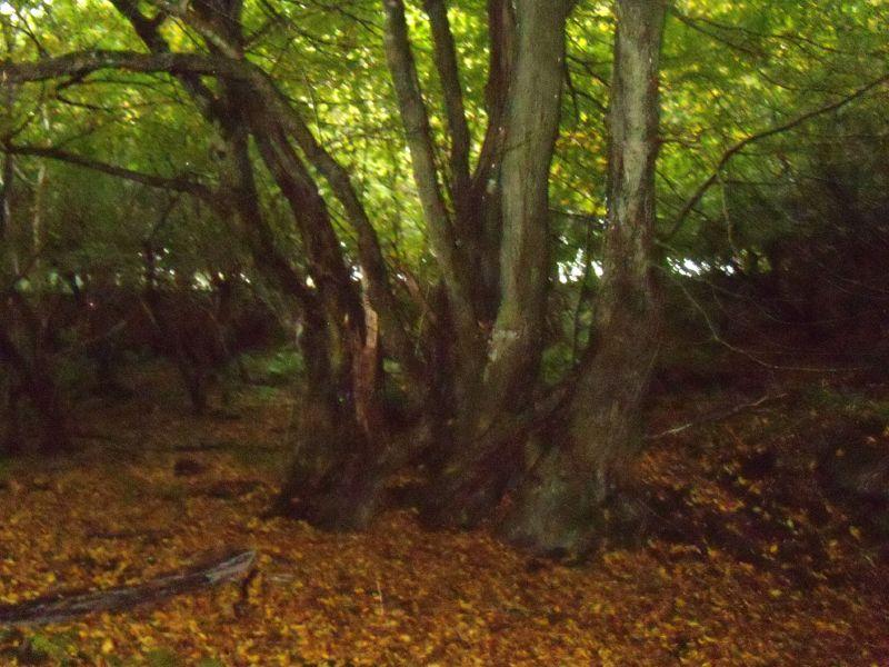 Tree in a wood Balcombe Circular via Ardingley Reservoir (summer walk)