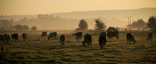 Cows grazing autumn morning, Somerset levels | by IDS.photos