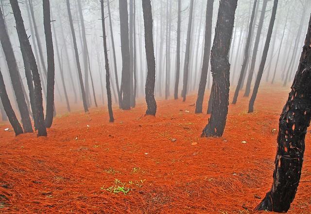 Misty Pines....