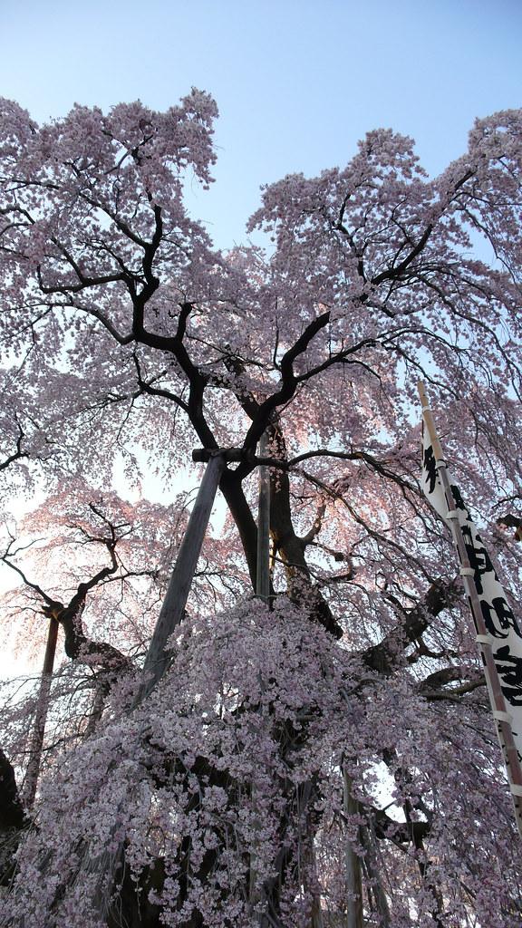 Takizakura, One of three most gorgeous cherry tree in Japan