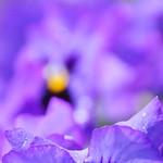 St Albans - Purple Pansies