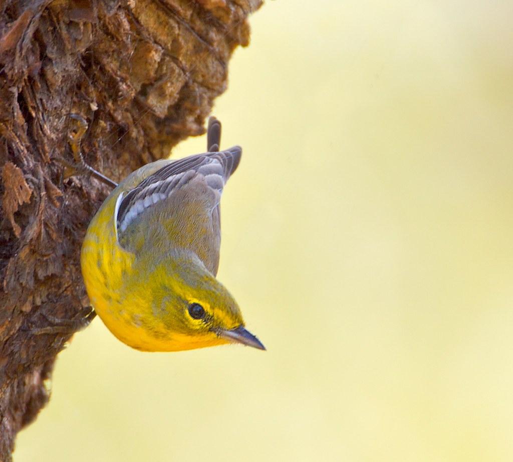 Male Pine Warbler by billkominsky 