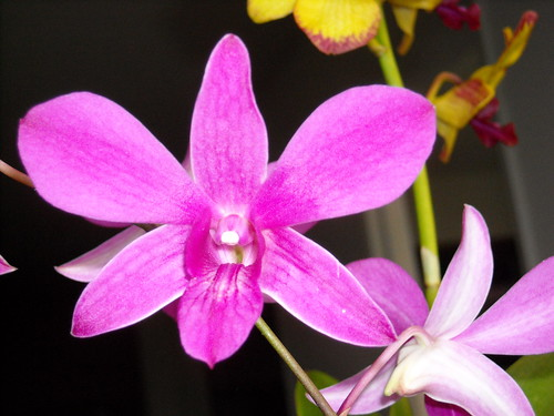 Purple Orchid | by Tugnutt