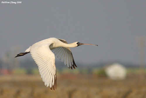 黑面琵鷺 Black-faced Spoonbill | by dotcool