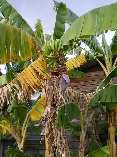 Banana Tree   by submarginals