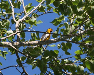 Bullock's Oriole | by no ceiling