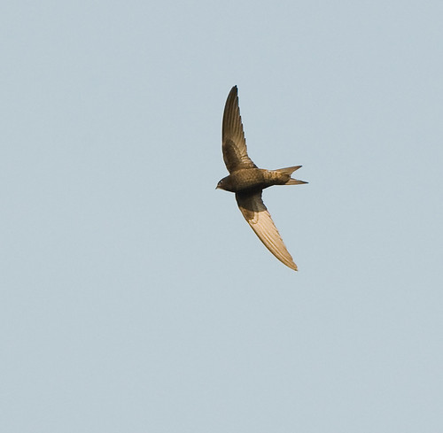 Swift; Gierzwaluw; Apus apus | by jwsteffelaar