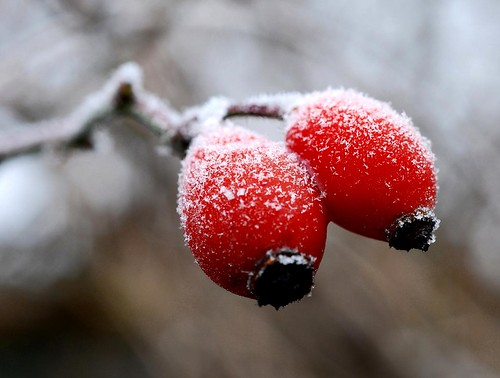 snowy rosehips | by daaynos