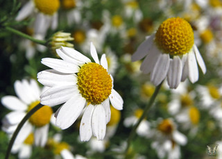 Chamomile Flowers | by Swallowtail Garden Seeds