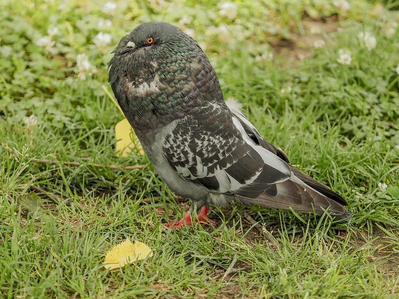 Fancy pigeon (probably Voorburg Shield Cropper)