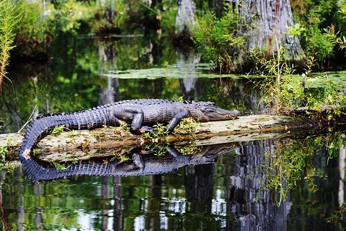 alligator swamp cypressgardens canonef100mmf28macrousm 10millionphotos img1505