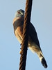 Double-toothed Kite (Harpagus bidentatus) by David Cook Wildlife Photography